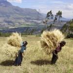 Hauling wheat